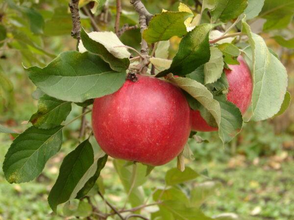 яблуко на дереві